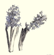 Hyacinten, potlood op papier